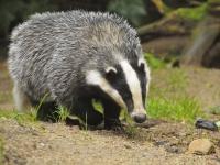 Охота на барсука: в норе - с норными собаками, лайками; методы, тактика