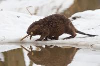 Капкан на бобра – способ охоты на бобра зимой: как сделать ловушку и поставить ее
