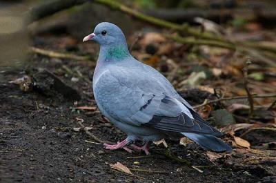 Как называется лесной голубь