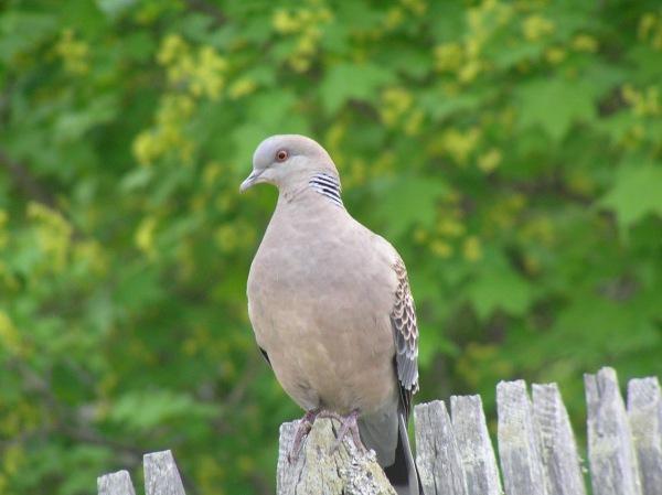 дикий голубь