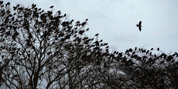 охота на ворон
