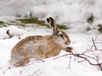 Заяц зимой – охота петлями и капканами: как правильно охотиться на русака и беляка