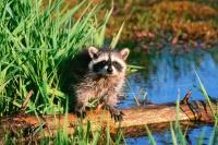 Охота на енота полоскуна: зимой, капканами, с собаками, троплением – видео охоты