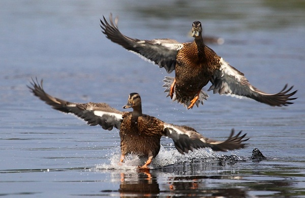 охота на утку весной