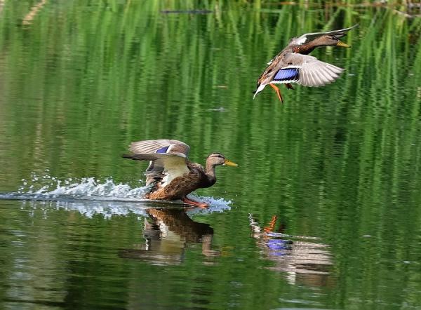 охота на уток весной
