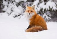 Охота на лису: с манком, с подхода, из засидки, с петлей, с собаками, зимой