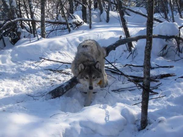Охота на волка - Все способы охоты на волков