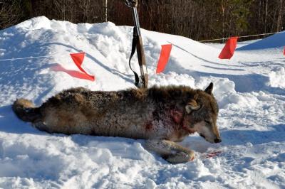 Охота на волка зимой и летом: выбор оружия и обзор способов