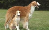 Борзые собаки: описание пород, фото. Виды охотничьих собак: гончие, русские борзые, грейхаунды