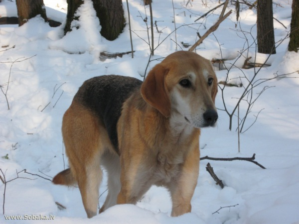 Русские гончие собаки: особенности породы