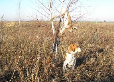 Охота на зайца с русской гончей