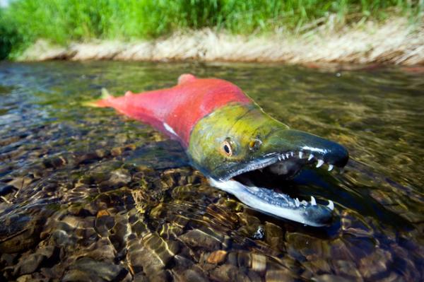 Рыба нерка где обитает и чем полезна