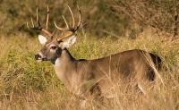 Охота на косулю с манком: голос косули, как правильно приманить. Виды манков и как их использовать