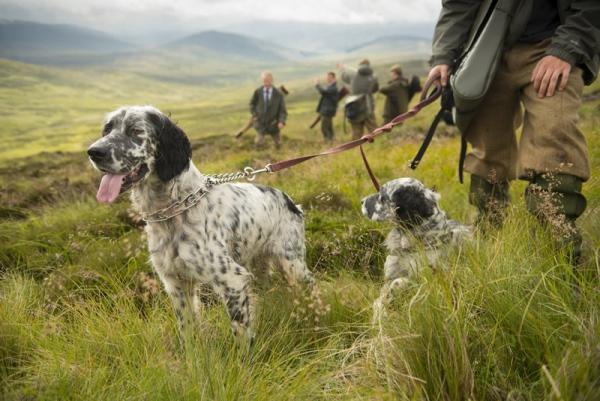 Охота на куропатку с собаками