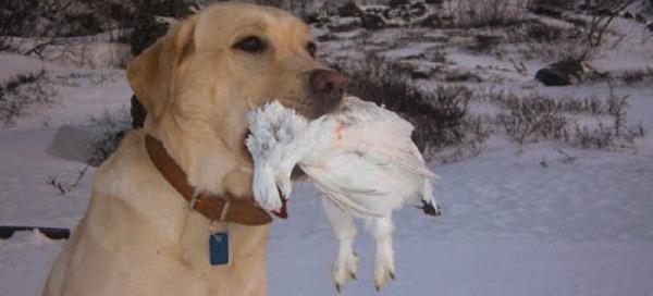 Охота на белую куропатку