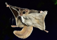 Белка-летяга - описание и интересные факты: где обитает, чем питается летучая белка