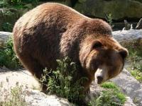 Бурый медведь: как выглядит, где обитает, что ест, описание повадок, спячка