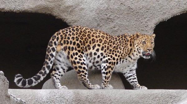 Дальневосточный леопард (амурский, приморский): описание, Красная книга