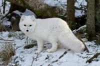 Песец (полярный лис): как выглядит, где обитает, чем питается в тундре