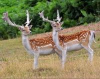 Пятнистый олень - уссурийский и парковый: описание, места обитания; Красная книга