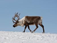 Северный олень в тундре: где обитает, чем питается, описание и интересные факты