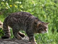 Лесные коты: европейский, дальневосточный, кавказский, амурский, камышовый