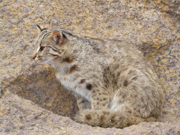 амурский кот