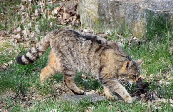 европейская дикая кошка