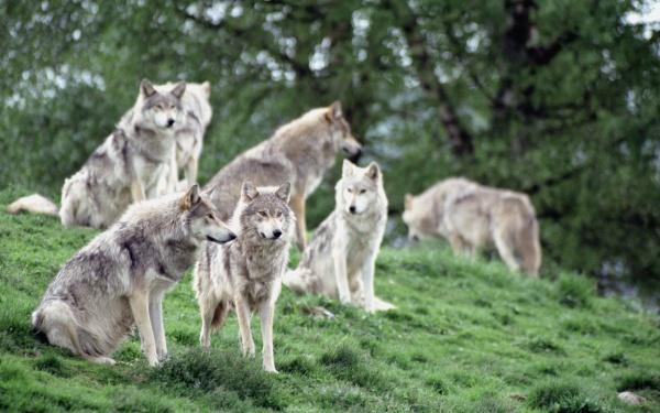 Как выглядит волк: повадки волков, где живут волки, сколько лет живет волк
