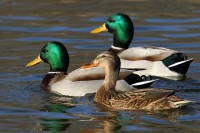 Дикие утки - виды и породы: нырки и нырковые, крохали, чирки, кряквы и другие