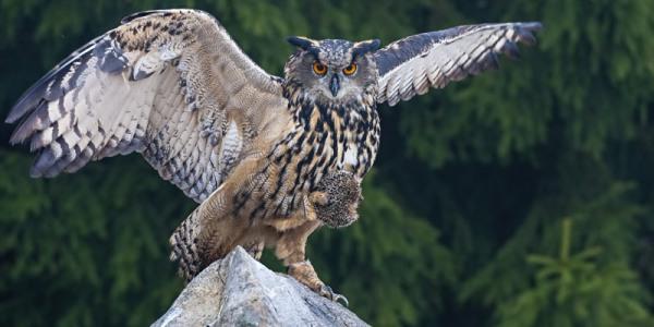 Птица филин: как выглядит и чем отличается от совы; где живет, чем питается