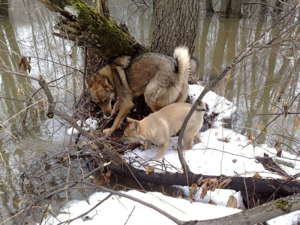 Дрессировка лайки в домашних условия: как дрессировать щенка и натаскать на дичь