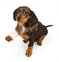 Рана у собаки на лапе или теле: чем обработать, обеззаразить и как лечить