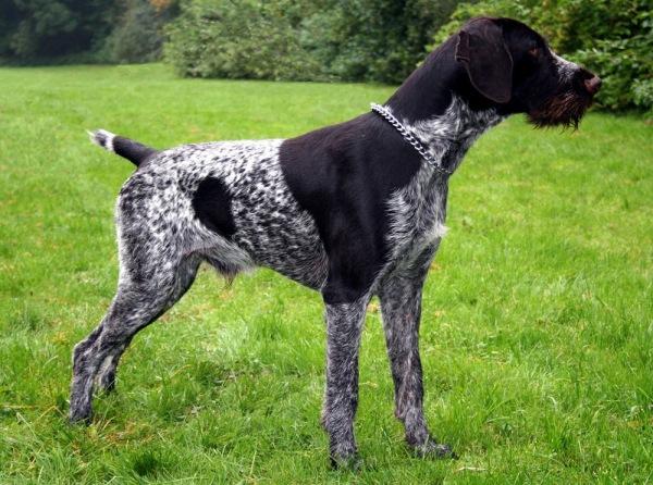 Лучшие охотничьи собаки для охоты на птицу, норную и лесную дичь: обзор пород