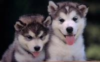 Как держать лайку в квартире, доме или вольере: уход за щенком и взрослой собакой