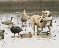 Лабрадор на охоте: охотничьи качества, воспитание, обучение и натаска собаки