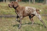 Охотничья собака курцхаар (немецкая легавая): описание породы, содержание