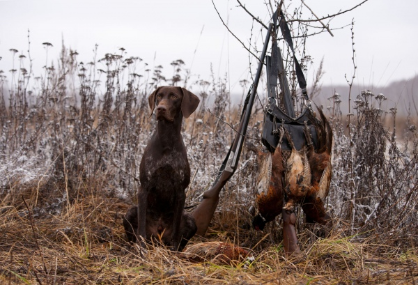 Охота с курцхааром: описание породы, натаска на зверя, воспитание, дрессировка