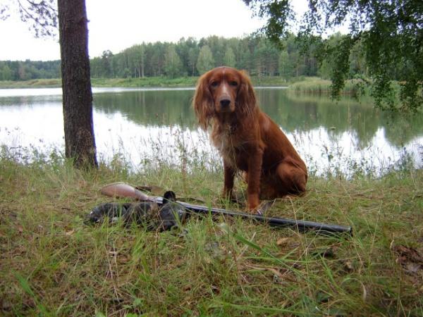Русский спаниель: описание породы, охотничьи характеристики, уход и воспитание