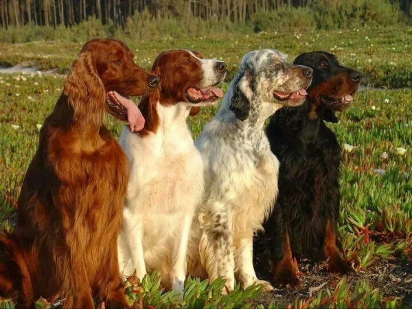 Охотничья собака сеттер