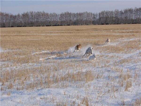 Охота с гончими собаками: на зайца, лису, кабана, волка; характер русского гончака