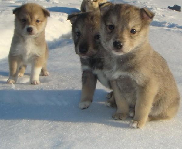 Восточно-сибирская лайка: как выглядит, характер, выбор щенков, натаска собак
