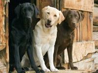 Лабрадор: характер, внешний вид, стандарты породы, содержание и уход за собакой