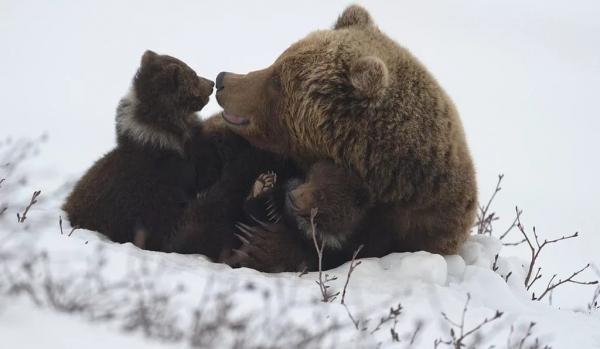 Охота на медведя: с лайками, зимой в берлоге, весной, с ножом, с рогатиной