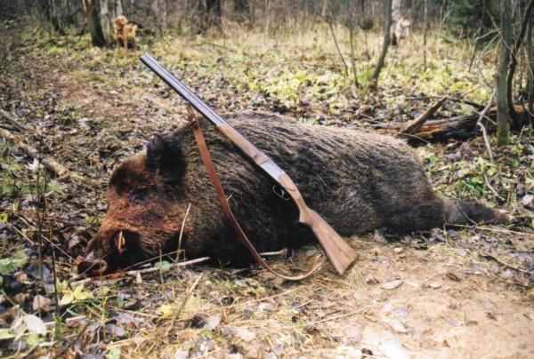 Охота на кабана – оружие и способы: с подхода, загоном, с манком, зимой и осенью