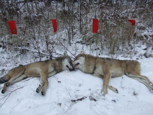 охота с флажками