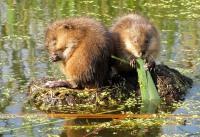 Охота на ондатру капканами и с ружьем: как поймать ондатру – секреты ловли