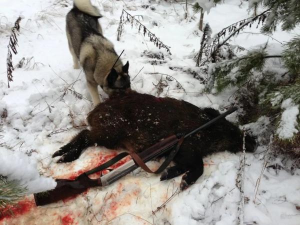 охота на кабана зимой