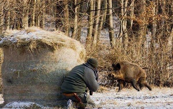 зимняя охота на кабана