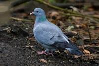 Охота на диких голубей: вяхирь, лесной, горлица, клинтух – выбор оружия и тактики